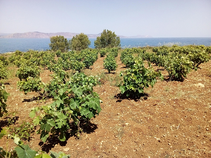 Liatiko vineyard
