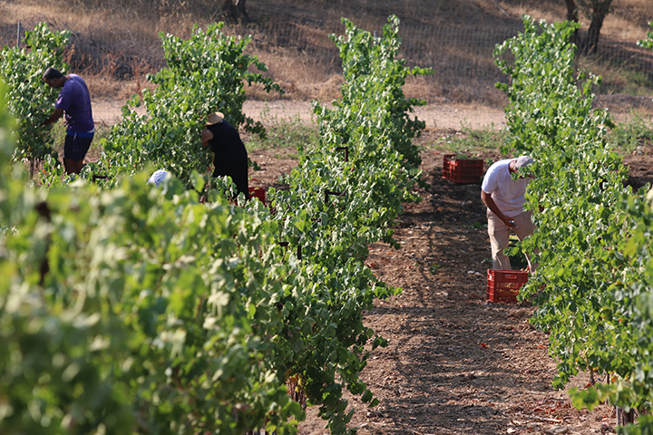 harvest-at-Vidiano